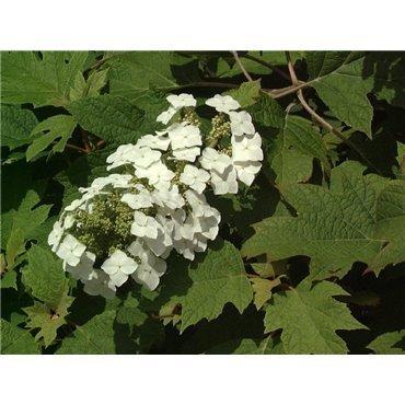 Hydrangea quercifolia ( Eichenblatt-Hortensie )