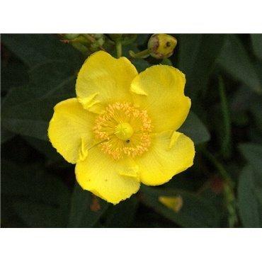 Hypericum Hidcote ( Johanniskraut )