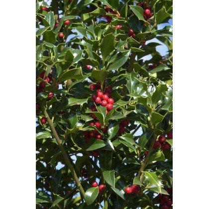 Ilex aquifolium Alaska (houx)