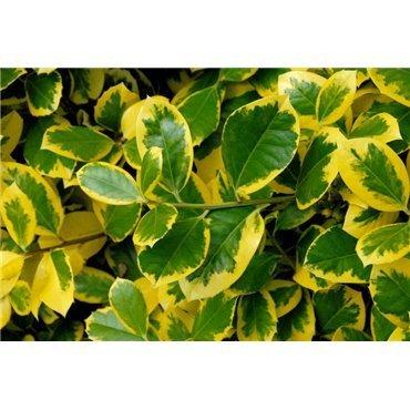 Ilex aquifolium Golden van Tol (houx panaché)