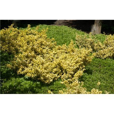 Ilex crenata Golden Gem (houx)