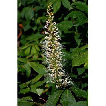Aesculus parviflora (Pavier blanc)
