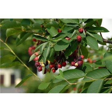 Amelanchier lamarckii (amelanchier du canada)