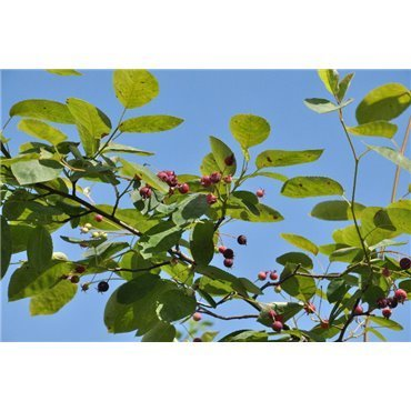 Amelanchier laevis (amelanchier)