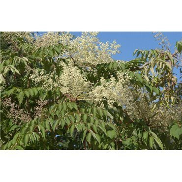 Aralia elata ( japanischer Angelikabaum )