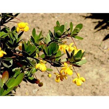 Berberis buxifolia Nana (épine vinette)