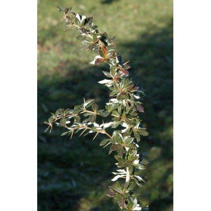 Berberis candidula ( Berberitze )