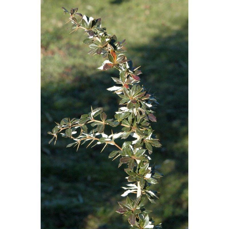 Berberis candidula (épine vinette)