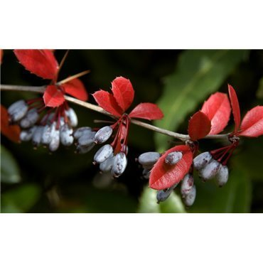 Berberis julianae (épine vinette)