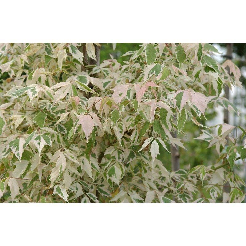 Acer negundo  Flamingo ( Eschenahorn, Eschen-Ahorn )