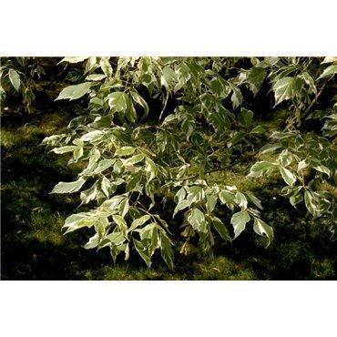 Acer negundo  Variegata ( Eschenahorn, Eschen-Ahorn )