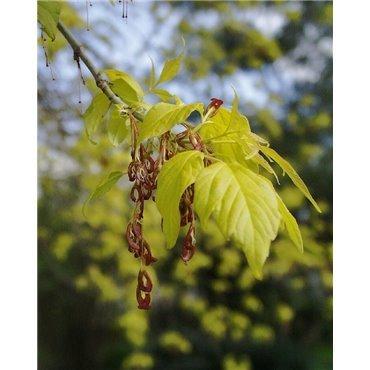 Acer negundo Aurea (érable negundo)