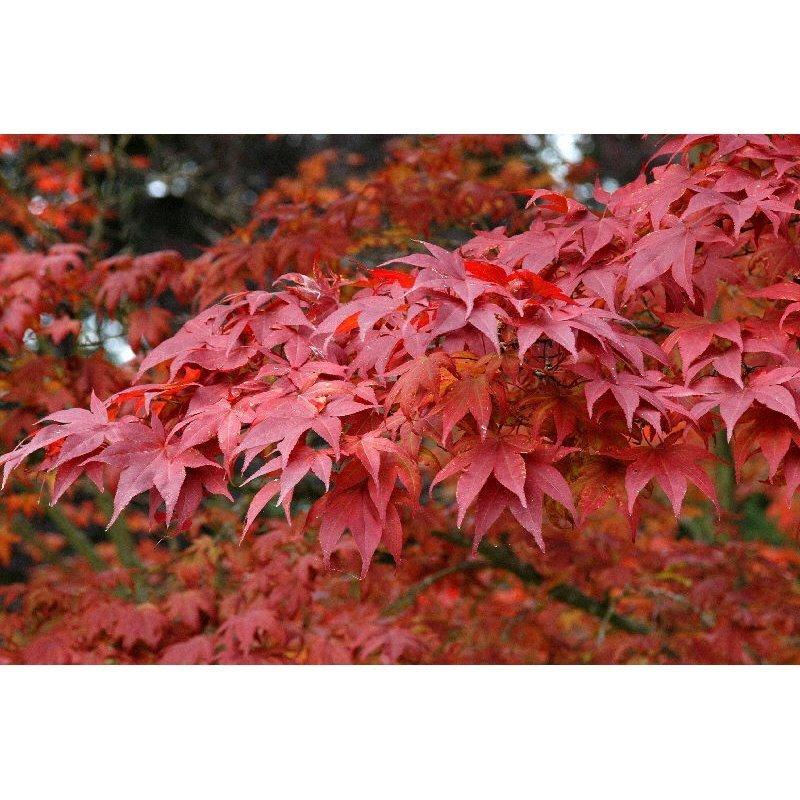 Acer palmatum Atropurpureum (érable japonnais)