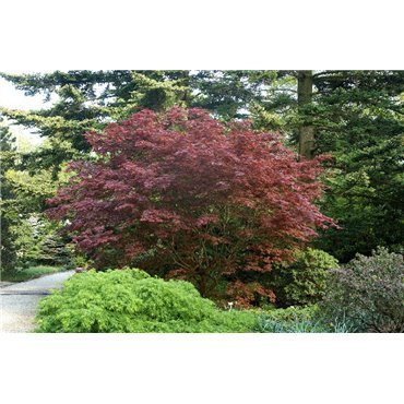 Acer palmatum Bloodgood  ( roter Fächerahorn )