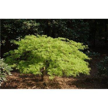 Acer palmatum Dissectum (érable japonnais)