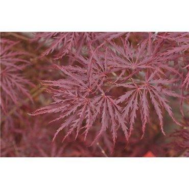 Acer palmatum Dissectum Garnet  ( roter Fächerahorn)
