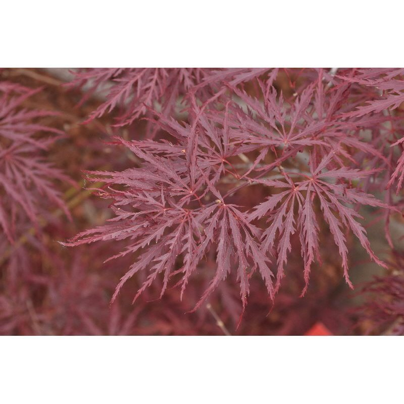 Etwas Neues genug Acer palmatum Dissectum Garnet ( roter Fächerahorn) Pflanzen-shop.ch &UK_24