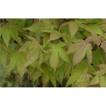 Acer palmatum Ozakazuki (érable japonnais)