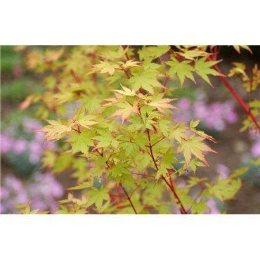 Acer palmatum Sango Kaku (érable japonnais)