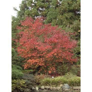 Acer japonicum Aconitifolium  ( japanischer Feuer-Ahorn )