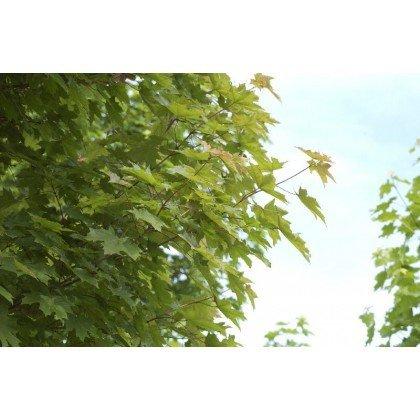 Acer platanoïdes ( Spitz-Ahorn )