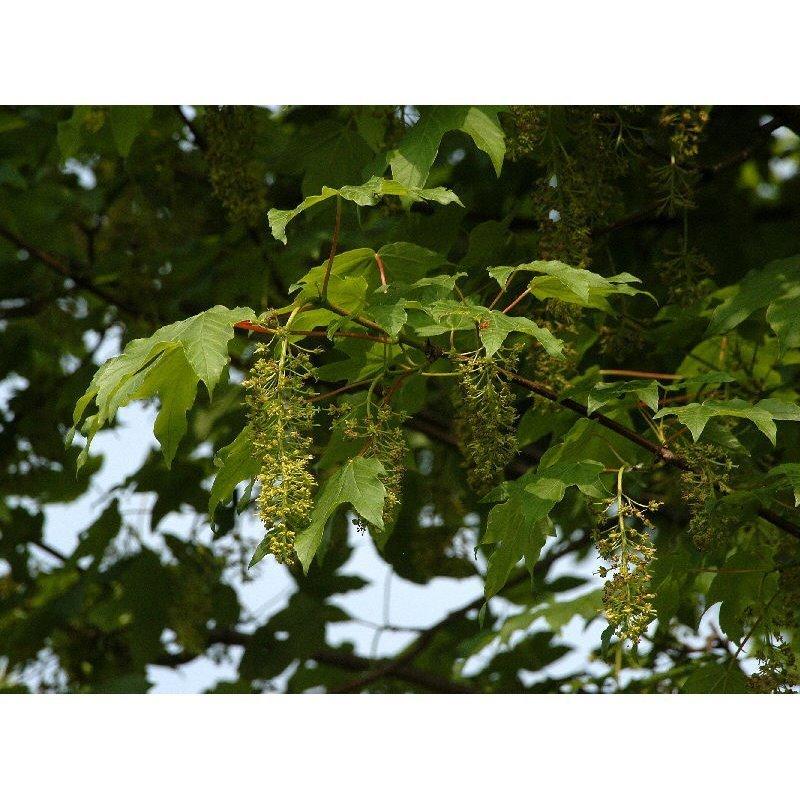 Acer pseudoplatanus (érable sycomore)
