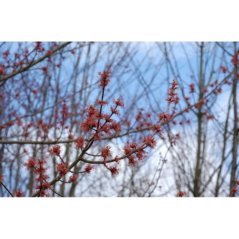 Acer rubrum (érable rouge)