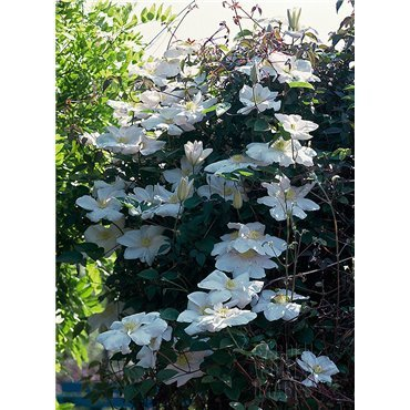 Clematis hybrides Mme Le Coultre  ( Waldrebe, grossblumige Clematis )