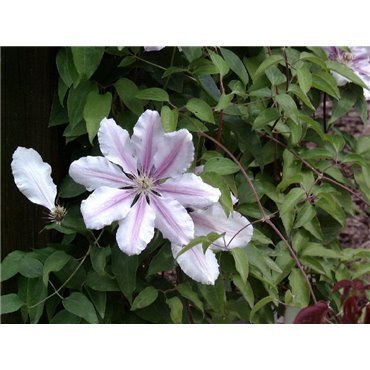Clematis hybrides Nelly Moser  ( Waldrebe, grossblumige Clematis )