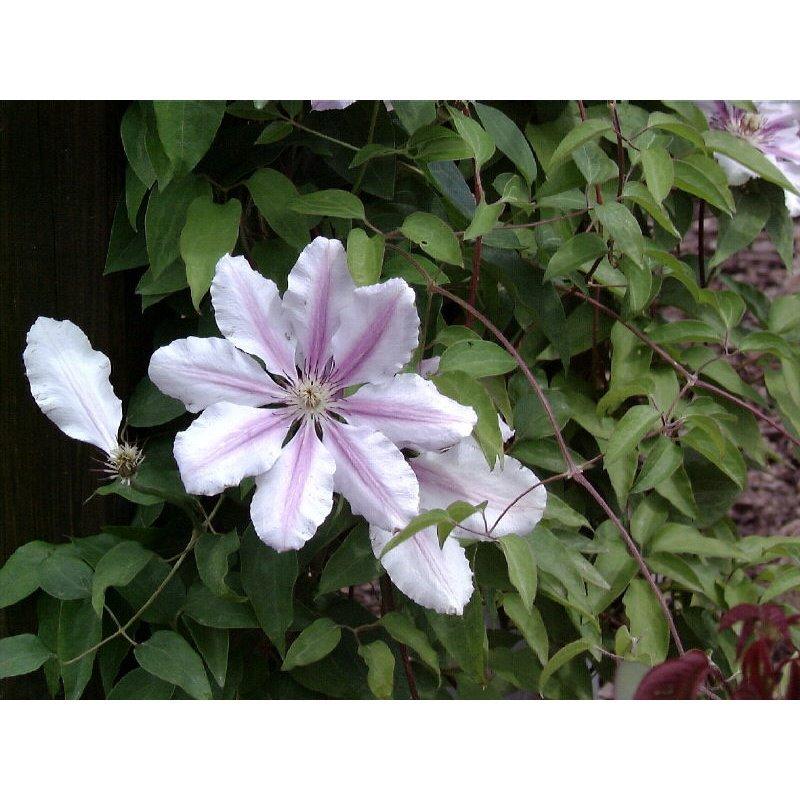 Clematis hybrides Nelly Moser (clématite à grandes fleurs)