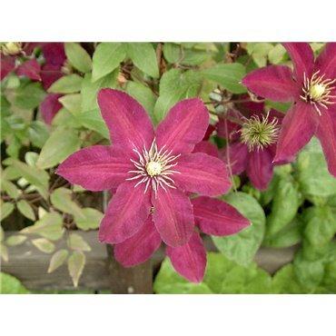Clematis hybrides Niobe (clématite à grandes fleurs)