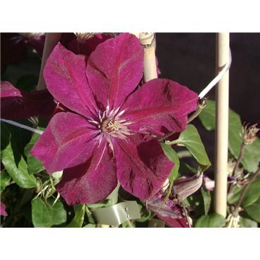 Clematis hybrides Rouge Cardinal  ( Waldrebe, grossblumige Clematis )