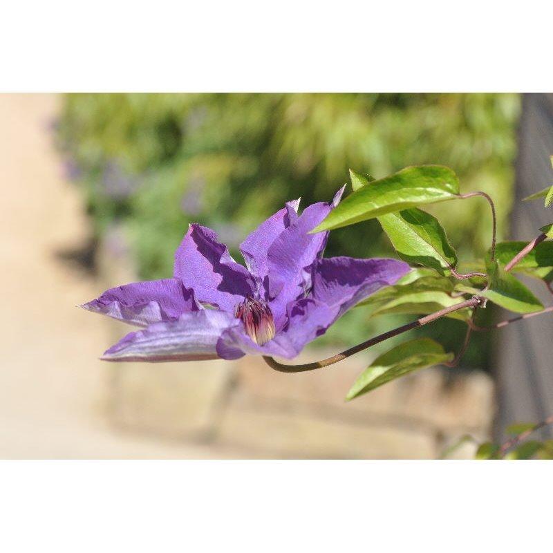Clematis hybrides The Président (clématite à grandes fleurs)