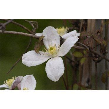 Clematis montana Grandiflora ( grossblumige Clematis )