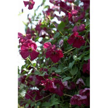 Clematis viticella Rubra  ( Waldrebe, Clematis )