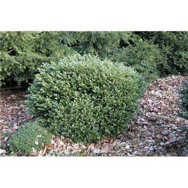 Buxus sempervirens Suffruticosa  (Zwerg-Buchs )