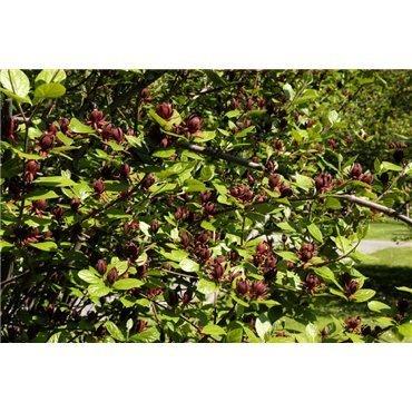 Calycanthus floridus (arbre pompadour, calycanthe)