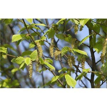 Carpinus betulus Fastigiata ( Pyramiden-Hainbuche )