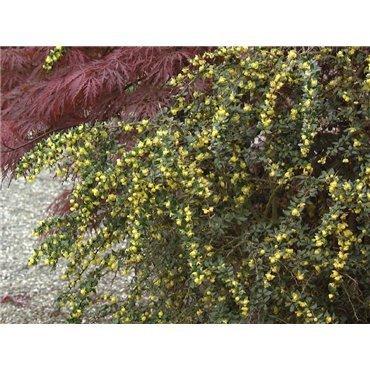 Berberis verruculosa (Berberitze)