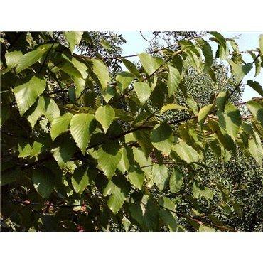 Betula utilis ( Himalaya-Birke )