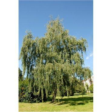 Betula pendula ( Hängebirke, Weissbirke )