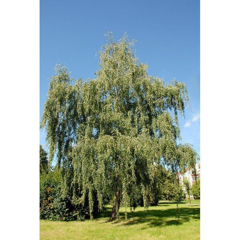 Betula pendula (bouleau blanc)