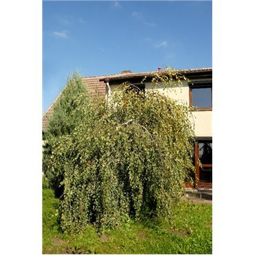 Betula pendula Youngii (bouleau pleureur)