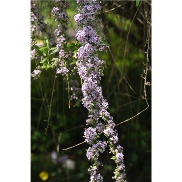 Buddleja alternifolia (arbre à papillons)