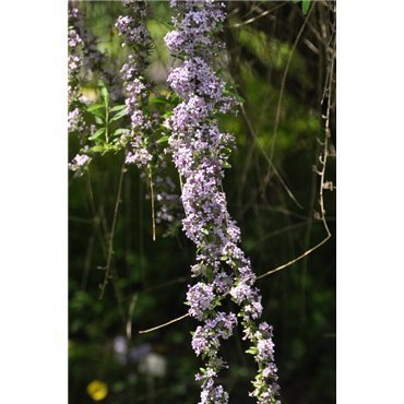 Buddleja alternifolia ( schmalblätteriger Schmetterlingsstrauch )