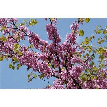 Cercis siliquastrum (arbre de judée)