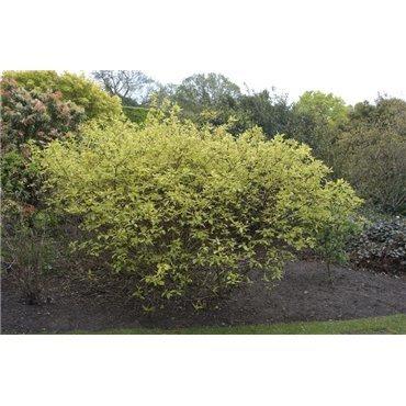 Cornus alba Spaethii (weisser Hartriegel )