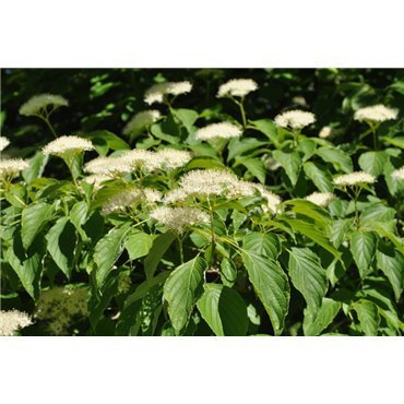 Cornus alternifolia (cornouiller à feuille alterne)