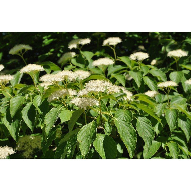 Cornus alternifolia  ( Wechselblättriger Hartriegel )
