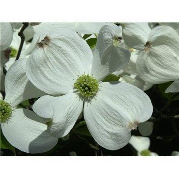 Cornus florida (cornouiller à grandes fleurs, cornouiller de Floride)